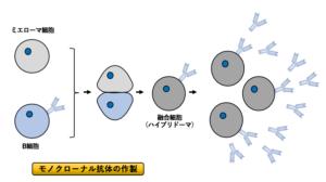 抗体 と は モノクローナル