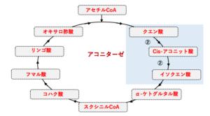 解決】クエン酸回路はどのようにして行われているのか?