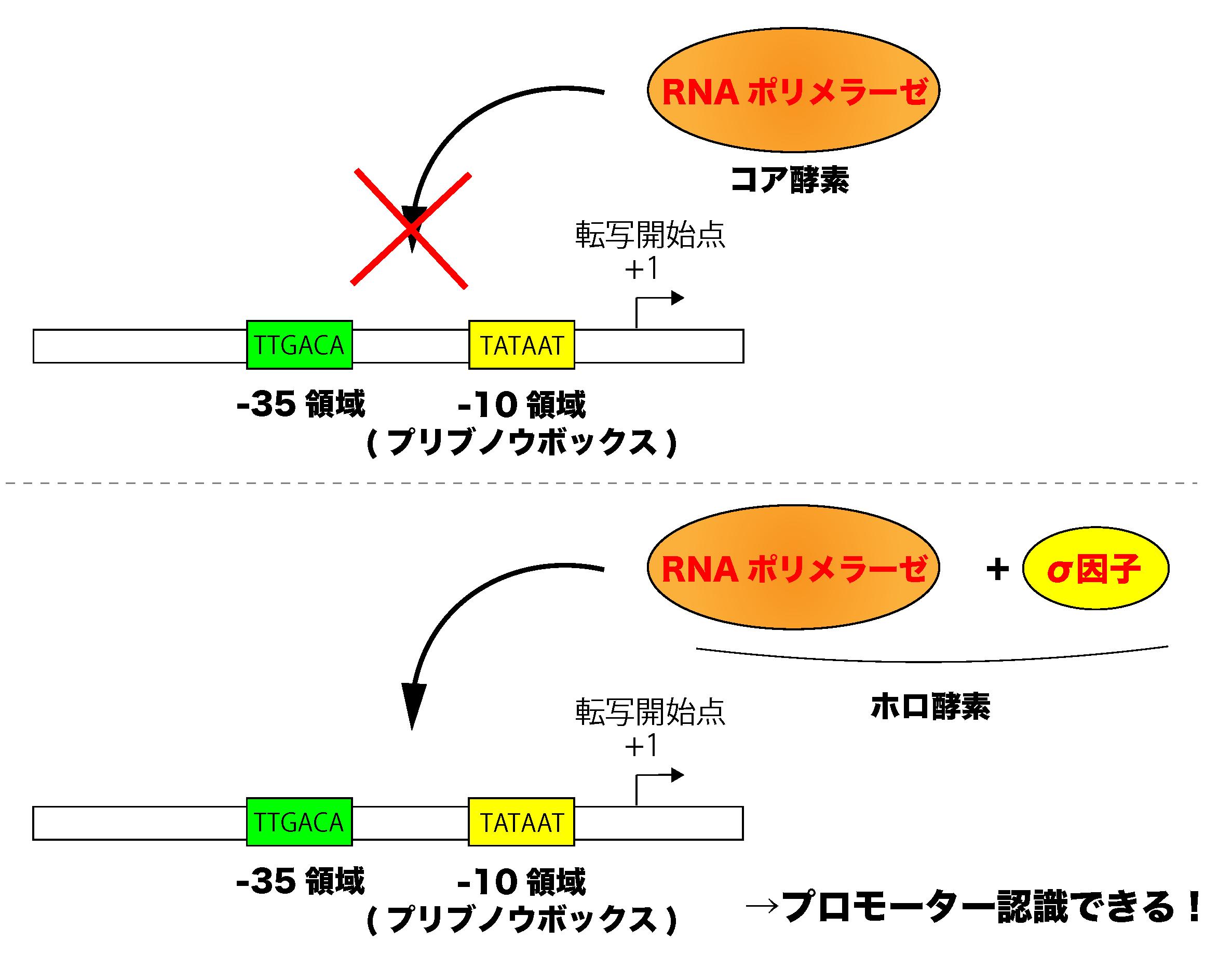 原核生物のRNAポリメラーゼとσ因子