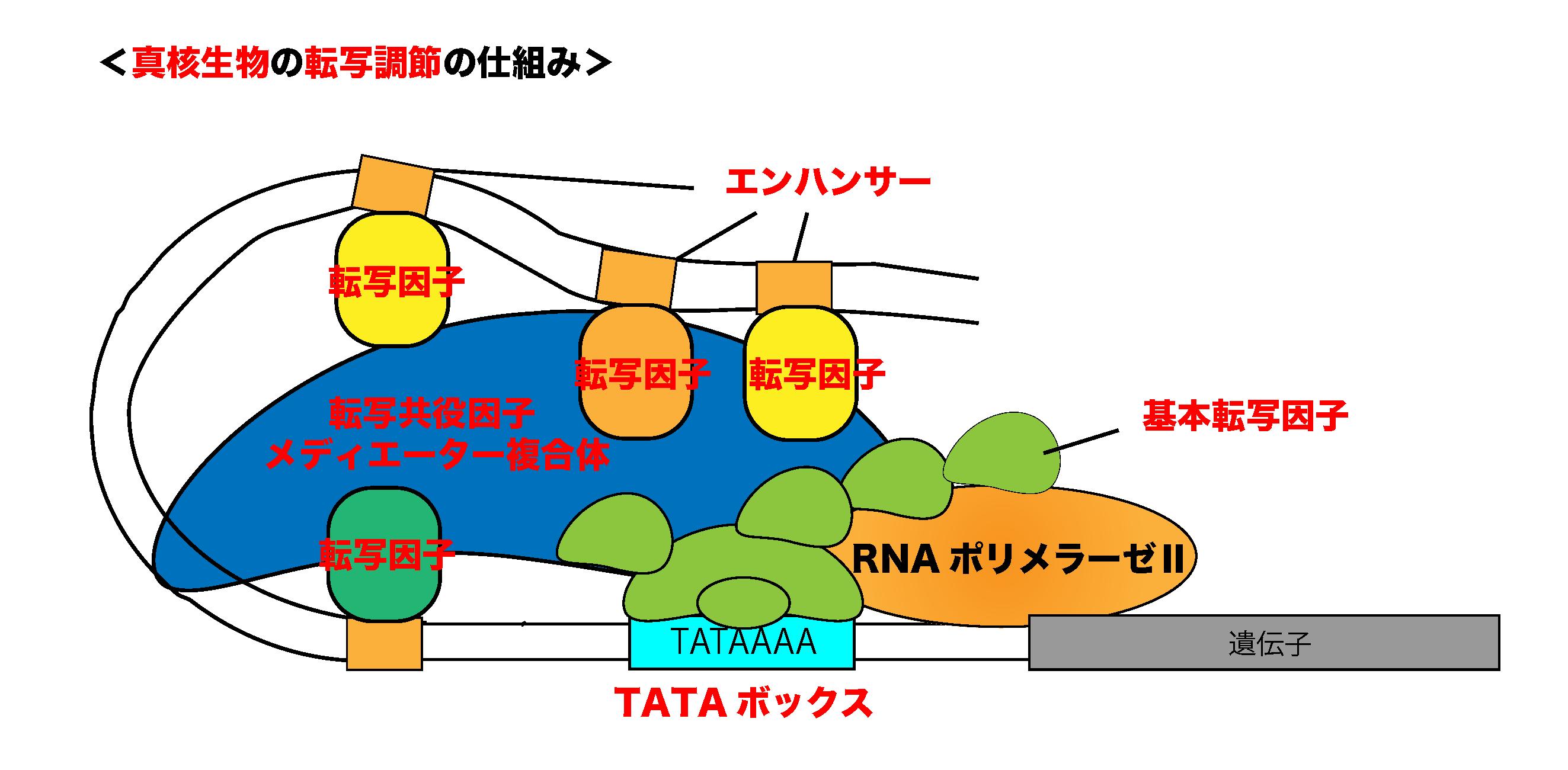 真核生物の転写調節の仕組み
