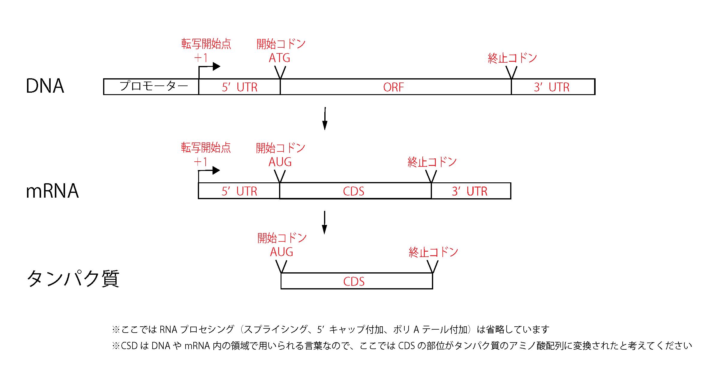 遺伝子の構成(ORF、UTR)について