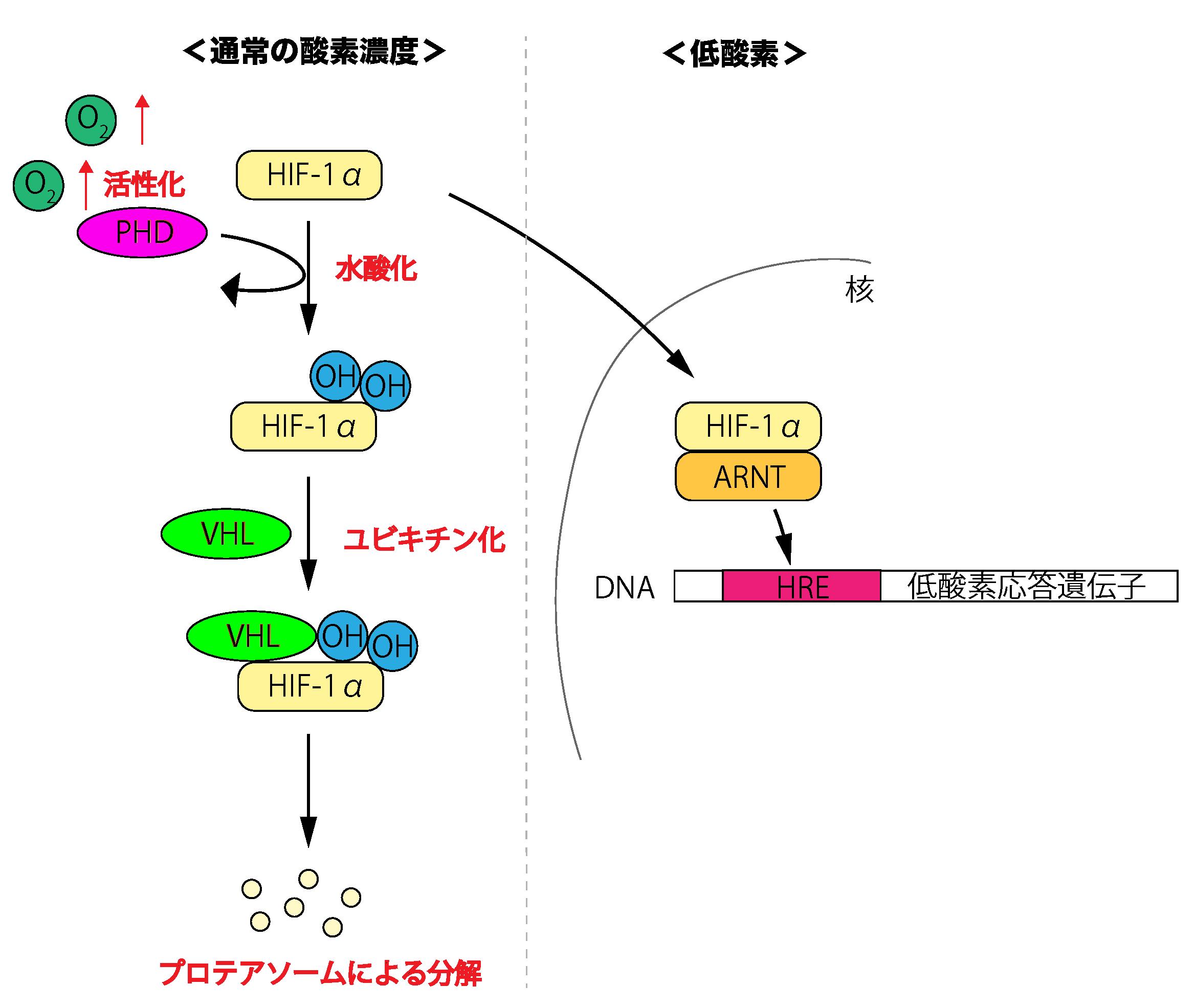 HIF1αと低酸素応答
