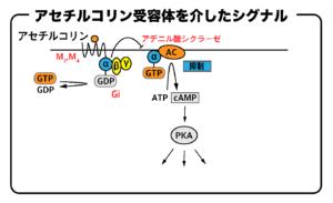 アセチルコリン受容体(Gi)を介したシグナル伝達の流れ