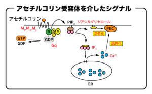 アセチルコリン受容体(Gq)を介したシグナル伝達