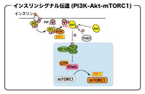 インスリンシグナル伝達(PI3K-Akt-mTORC1)の流れ