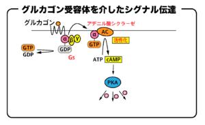 グルカゴン受容体を介したシグナル伝達の流れ