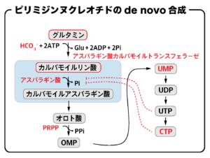 ピリミジンヌクレオチドのde novo合成の流れ(アスパラギン酸カルバモイルトランスフェラーゼ)