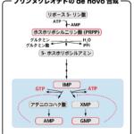 プリンヌクレオチドのde novo合成(IMPからAMP,GMP合成)