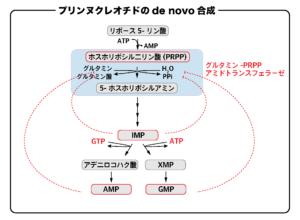 プリンヌクレオチドのde novo合成(PRPPから5-ホスホリボシルアミンの合成)