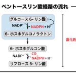 ペントースリン酸経路の酸化的段階