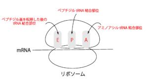 リボソームがどのようにして翻訳を行うか