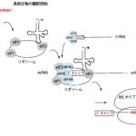 真核生物の翻訳開始の流れ