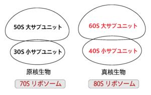 真核生物の80Sリボソームと原核生物の70Sリボソーム
