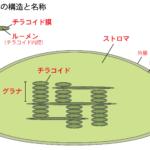 葉緑体の構造と名称