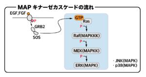 MAPキナーゼカスケードの流れ